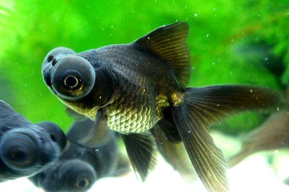 出目金 : いろいろな金魚 - NAVE...